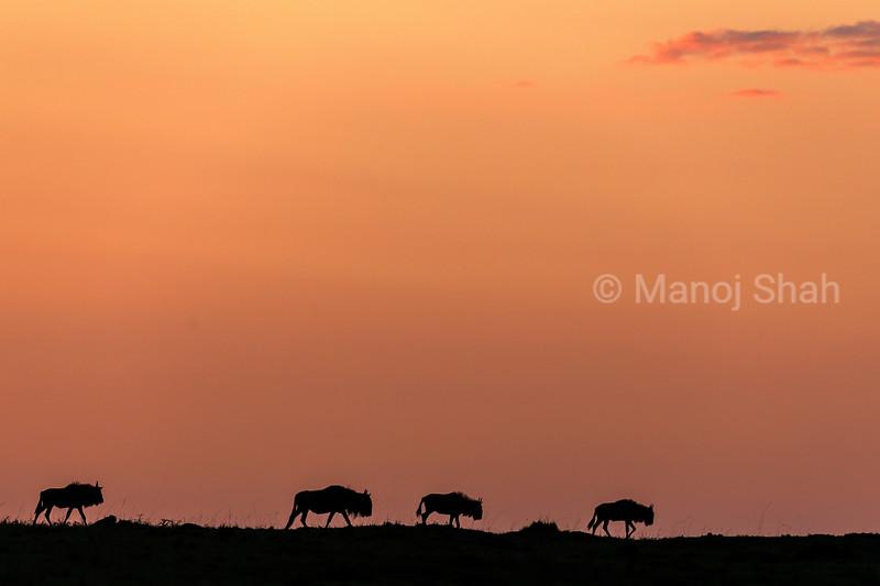 Wildebeest migration at sunrise in Mara