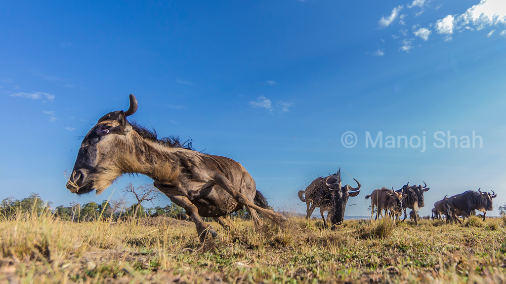 Wildebeest herd on the move to Mara River crossing. The sound of the remote camera shutter startled the lead wildebeest.