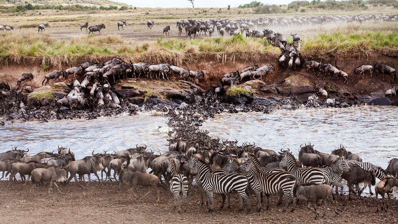Zebras waiting for their turn to cross Mara River after wildebeest.
