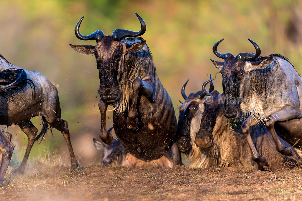 With look of astonishment in the eyes, the wildebeest quickly exit from the Mara River using a hippo trail along the river bank.