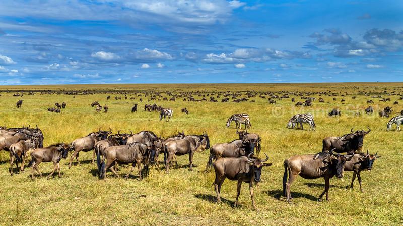 Wildebeest hers grazing in Masai Mara.