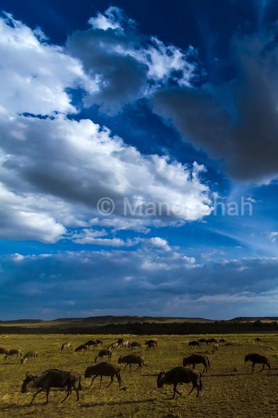 Wildebeest grazing in Masai Mara plains