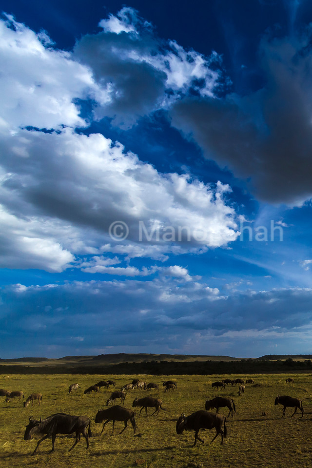 Wildebeest grazing in Masai Mara plains