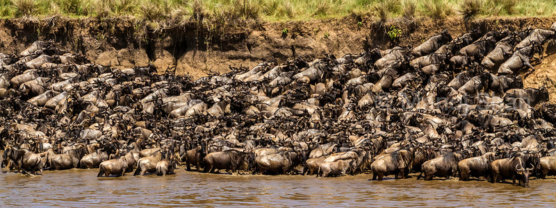 Wildebeest herd trying to get out of the Mara River bank  in Masai Mara.