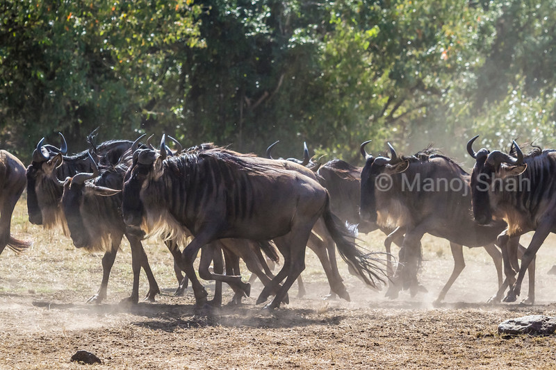 Wildebeest herd going to the crossing