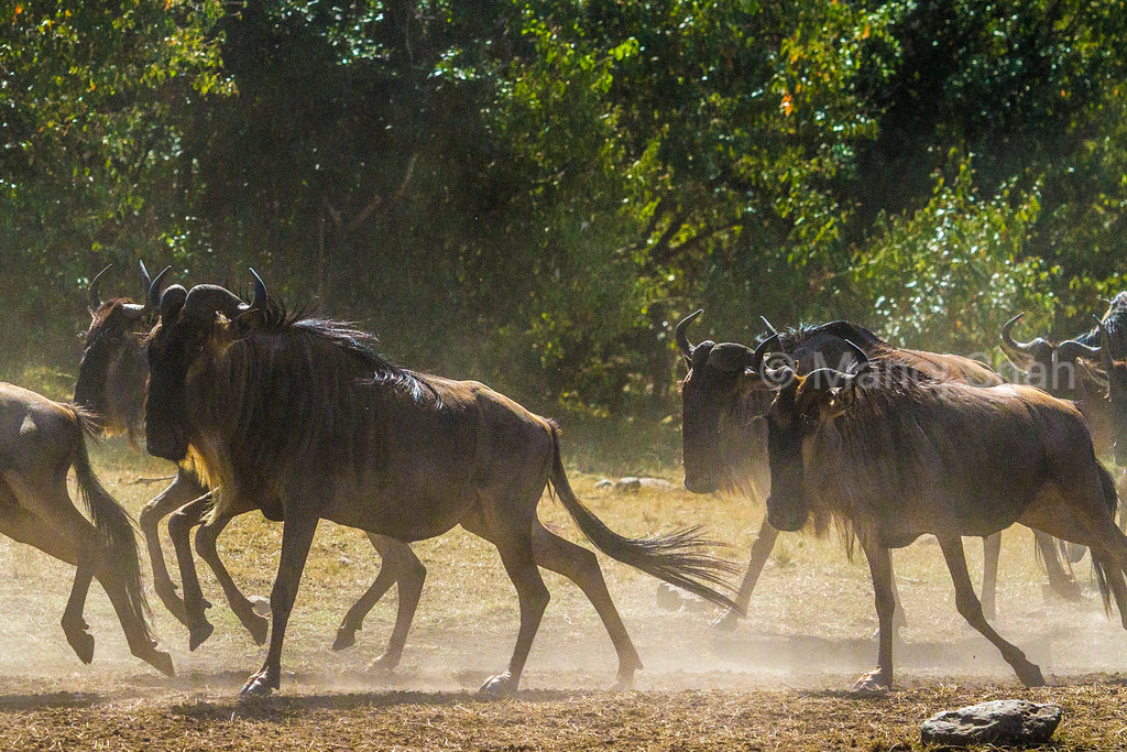 Wildebeest going to the crossing
