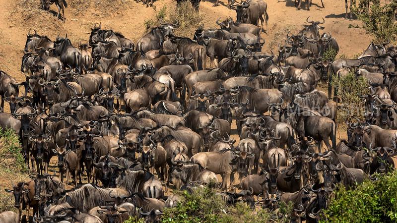 Migrating wildebeest wait to cross Mara River.