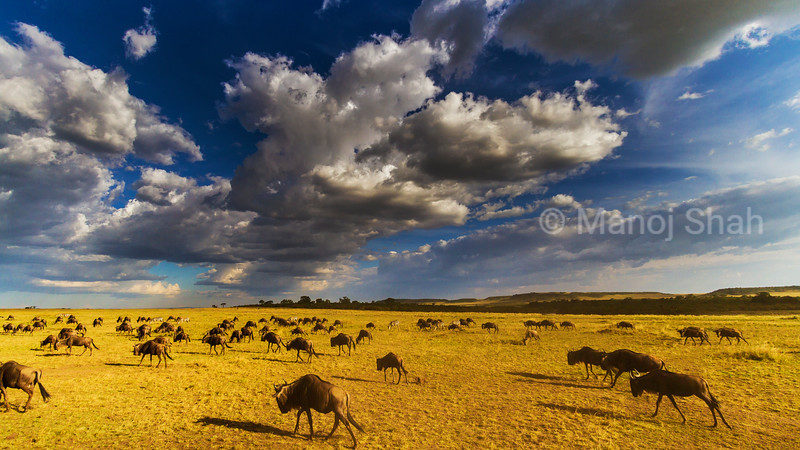 Wildebeest herd grazing. The grass is almost eaten and soon the wildebeest will migrate to other fields.