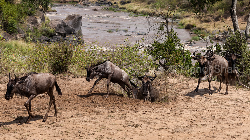 Wildebeest exiting the Mara River using a hippo track after crossing.
