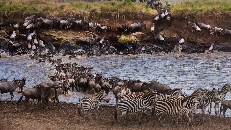 Wildebeest and zebras crossing Mara River.