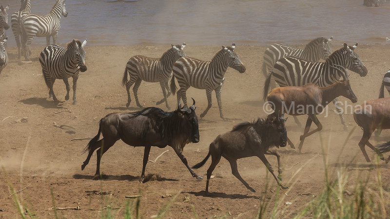 Zebra, Wildebeest and Topi eager to cross Mara River,