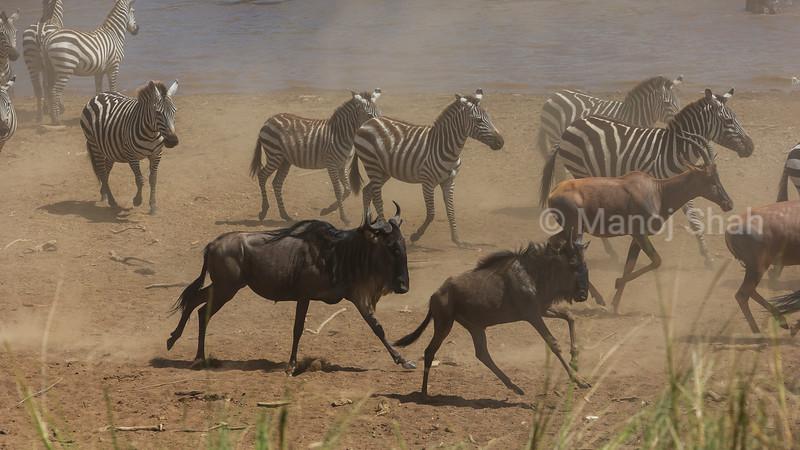 Zebra, Wildebeest and Topi eager to cross Mara River,
