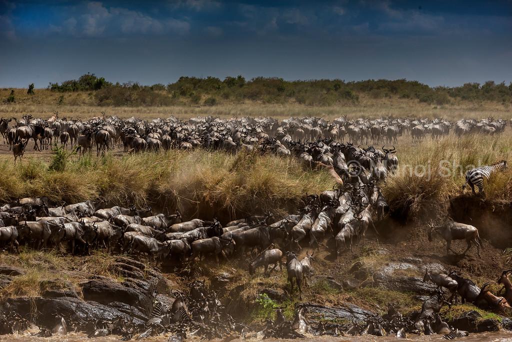 Zebra, Wildebeest and Topi eagerly crossed  Mara River.