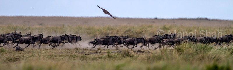 After crossing the Mara River, the wildebeest run on to the plains in Masai Mara