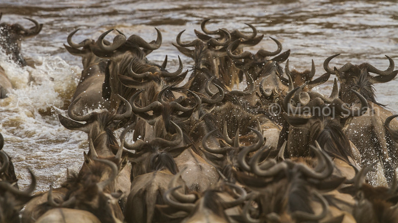 Wildebeest crossing Mara River,
