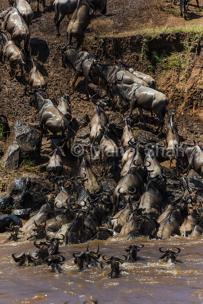 Wildebeest have crossed Mara River and are heading towards Serengeti.