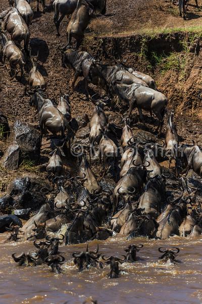 Wildebeest have crossed Mara River and are heading towards Serengeti.