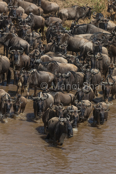 wildebeest drinking water from Mara River and starting to cross.
