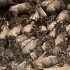 wildebeest 'stampeding'