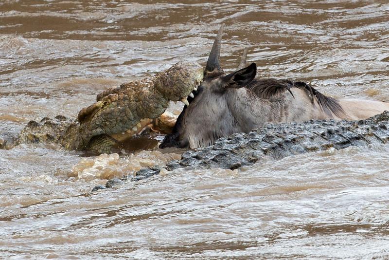 crocodiles grab a crossing wildebeest
