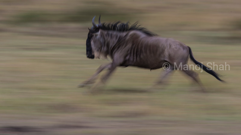 Wildebeesti migrating to Mara River from Paradise plains in Masai Mara.