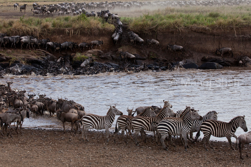 Zebras and wildebeest crossing river