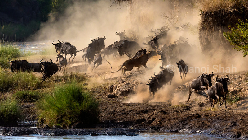 Lioness in middle of the wildebeest looks vary of hunting. May be because the wildebeest are not running away.