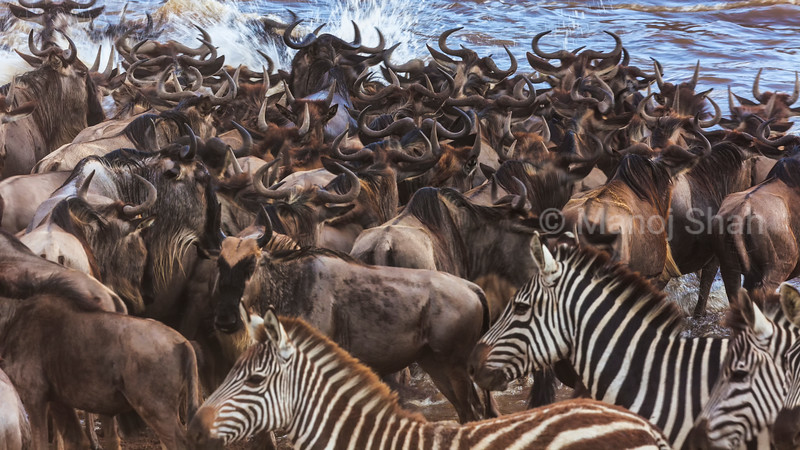 Wildebeest and zebras crossing Mara River.
