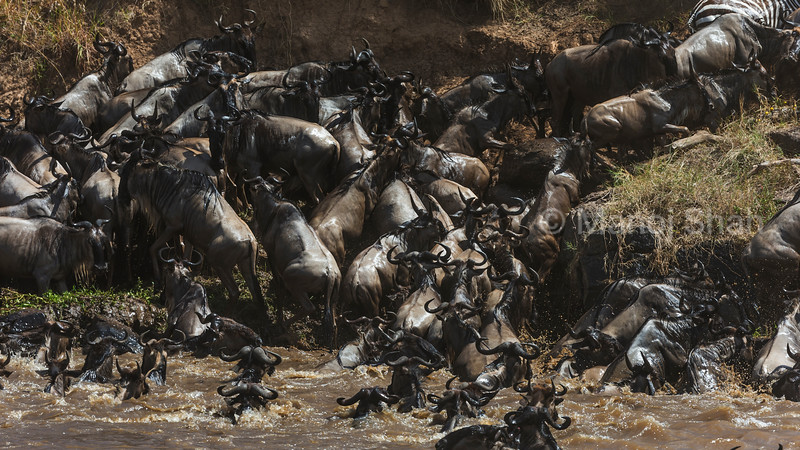 Zebra and Wildebeest crossing the Mara River.