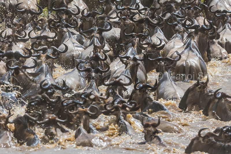 A herd of 2000 (approx) wildebeest crosses the Mara River.