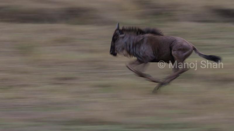 Wildebeesti migrating to Mara River from Paradise plains in Masai Mara.
