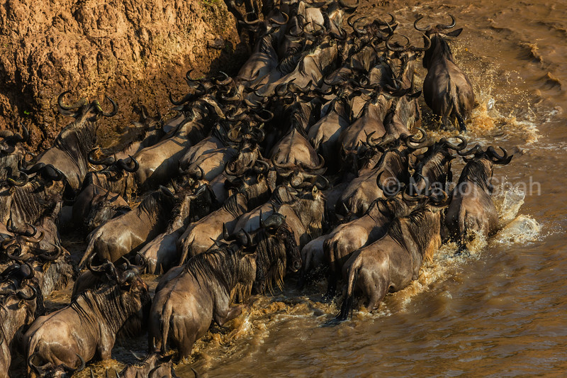 Wildebeest herd crossing Mara River