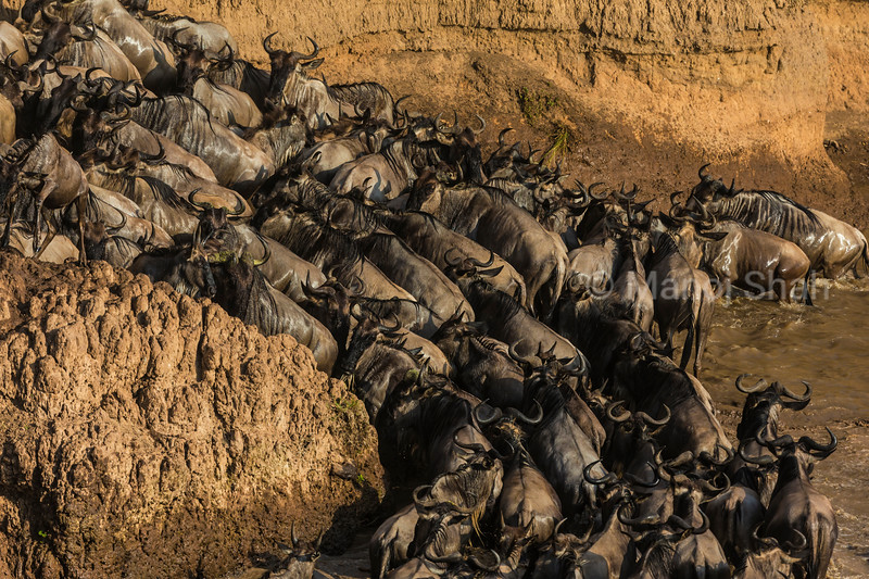 Wildebeest herd crossing and leaving Mara River