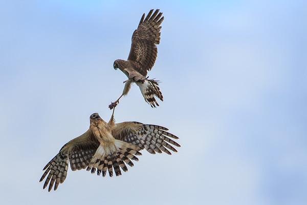Harrier handoff
