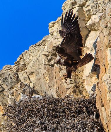 Golden Eagles 2