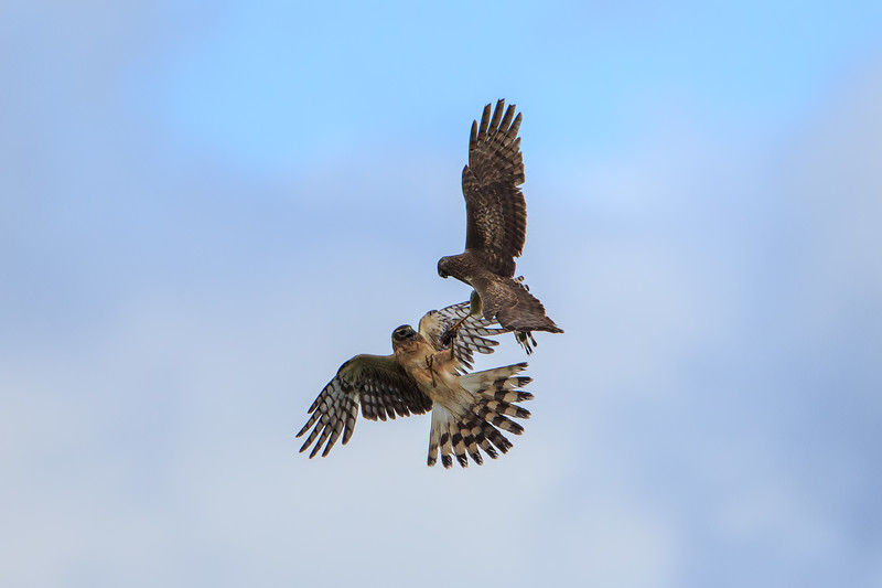 Harrier Hawks 1