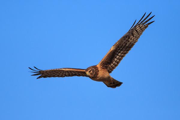 Harrier in flight