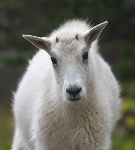 Mountain Goat 2
