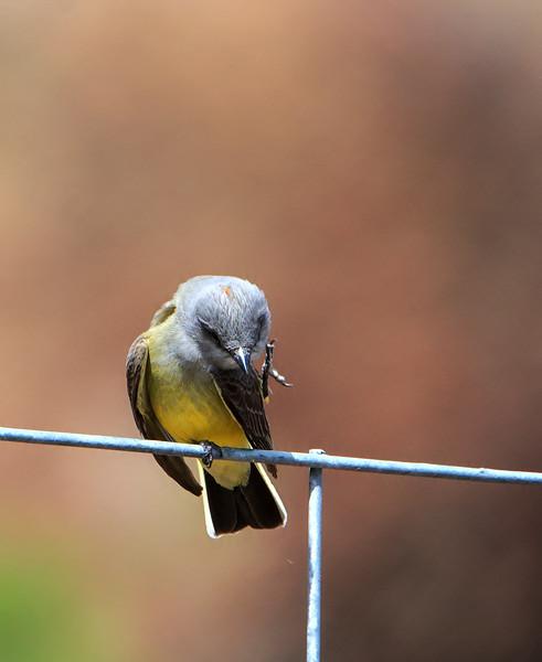Western Kingbird 1
