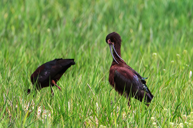 Whitefaced Ibis 1