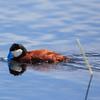 Rudy Duck 2
