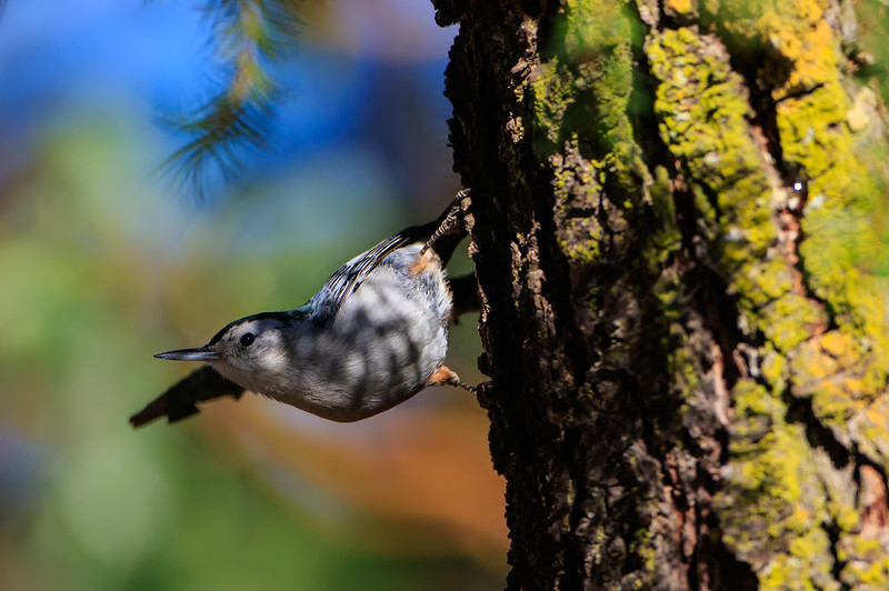 White breasted Nuthatch 1