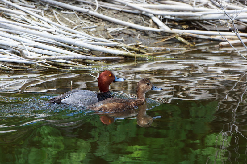 Red Headed Ducks 1