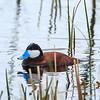 Rudy Duck 1