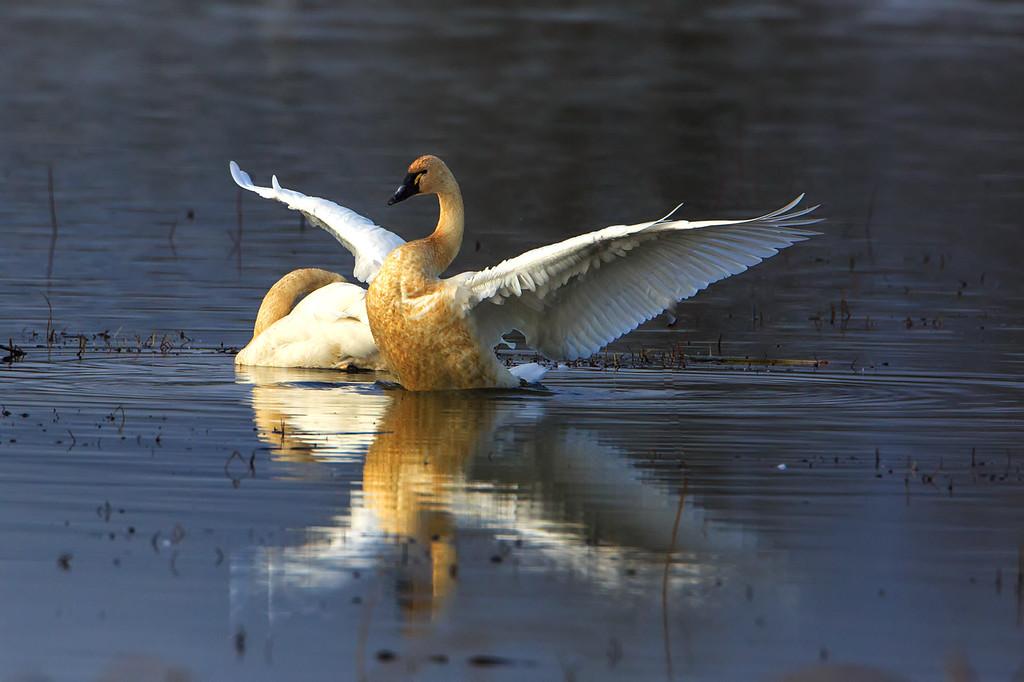 Swan Strut 1