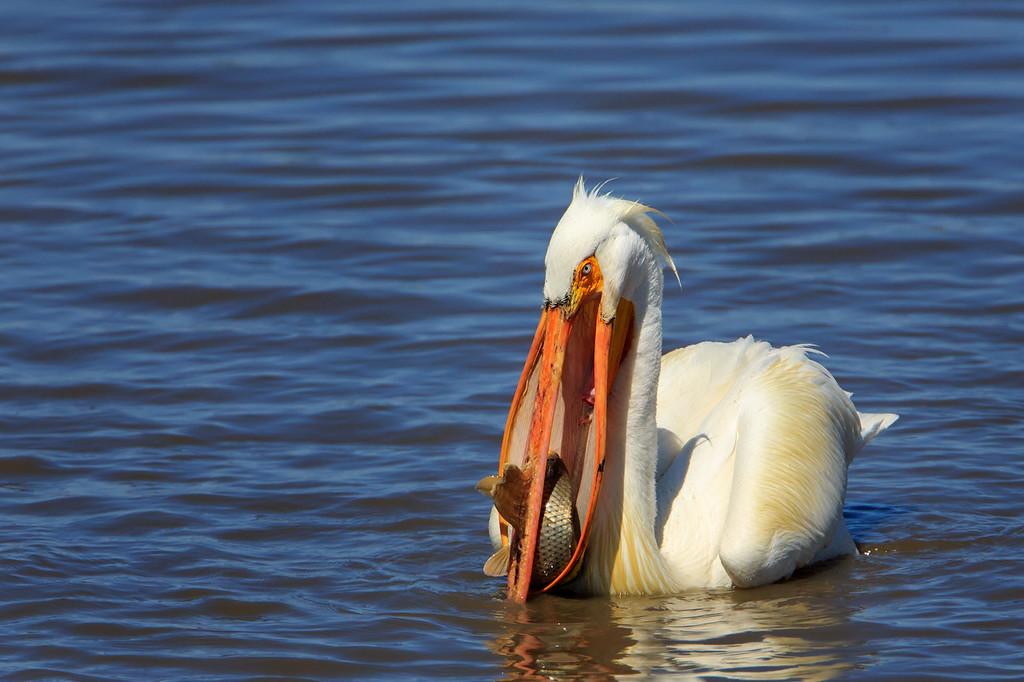 American White Pelican 3