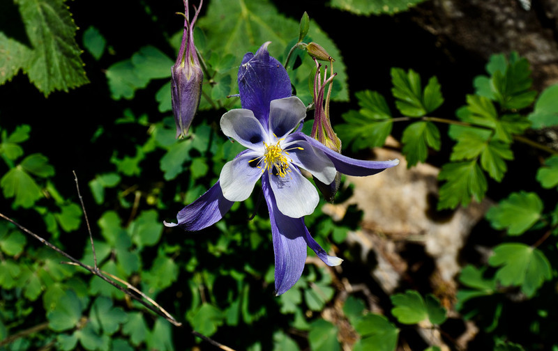 Colorado's state flower the Columbine.