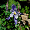 Colorado's state flower the Columbine.