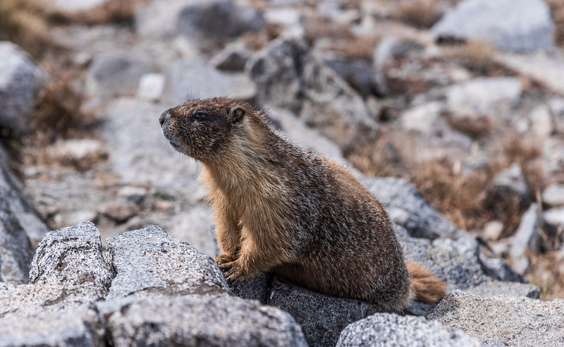 One of the resident marmots posing for the camera. I think he was hoping for a tip..