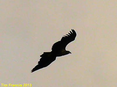 D6. Malcolm snapped this Golden eagle on the way to Huisinis.